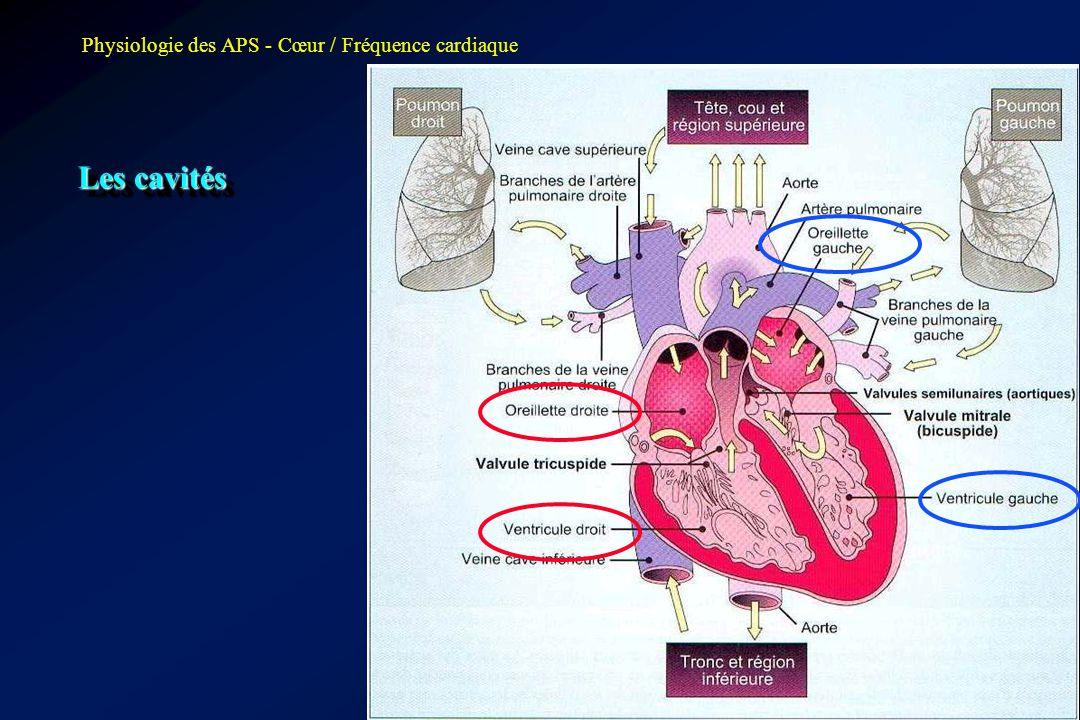 Les cavités Physiologie des APS - Cœur / Fréquence cardiaque