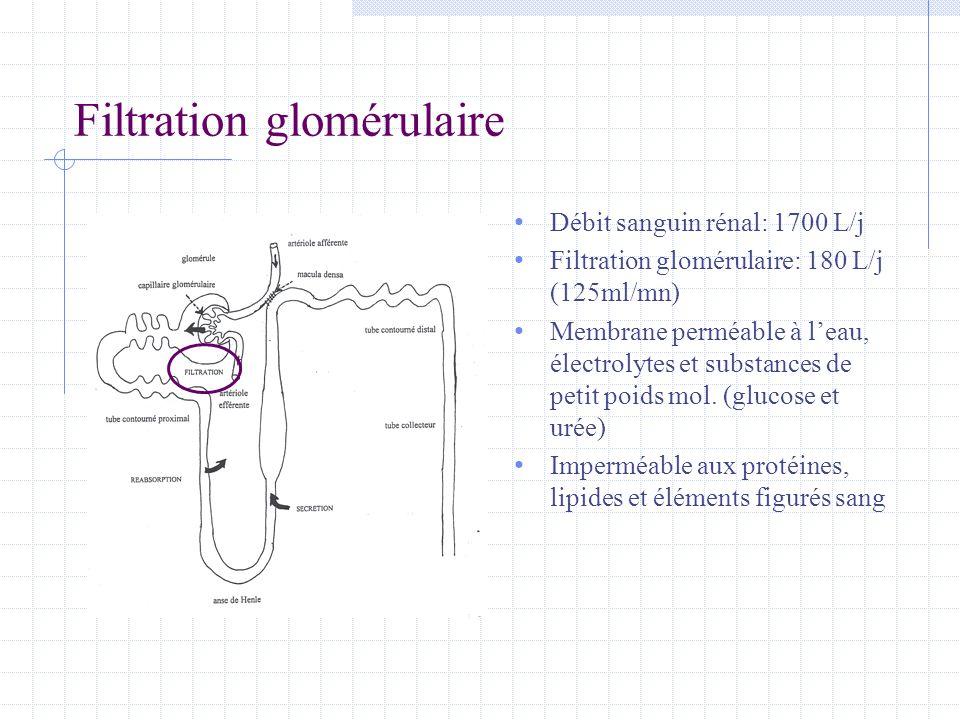 Filtration glomérulaire • Débit sanguin rénal: 1700 L/j • Filtration glomérulaire: 180 L/j (125ml/mn) • Membrane perméable à l'eau, électrolytes et su