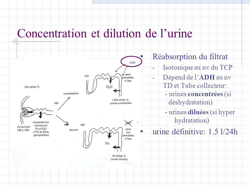 Concentration et dilution de l'urine • Réabsorption du filtrat • Isotonique au nv du TCP • Dépend de l'ADH au nv TD et Tube collecteur : - urines conc