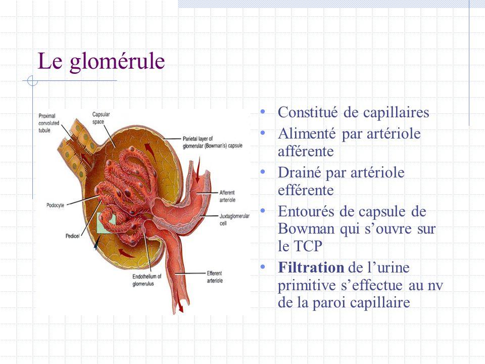 Le glomérule • Constitué de capillaires • Alimenté par artériole afférente • Drainé par artériole efférente • Entourés de capsule de Bowman qui s'ouvr