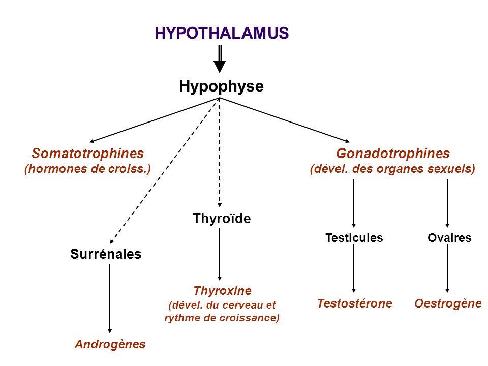 HYPOTHALAMUS Hypophyse Somatotrophines (hormones de croiss.) Gonadotrophines (dével. des organes sexuels) Thyroïde Thyroxine (dével. du cerveau et ryt