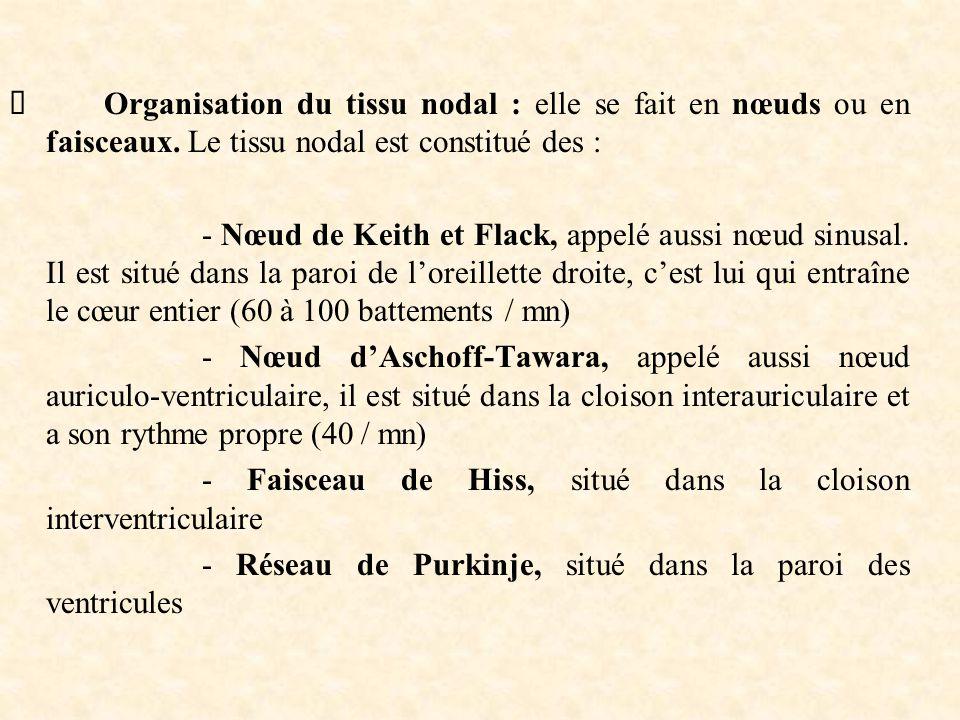  Organisation du tissu nodal : elle se fait en nœuds ou en faisceaux. Le tissu nodal est constitué des : - Nœud de Keith et Flack, appelé aussi nœud
