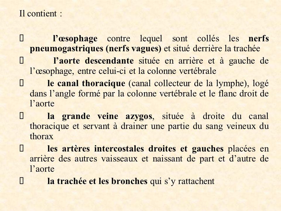 Il contient :  l'œsophage contre lequel sont collés les nerfs pneumogastriques (nerfs vagues) et situé derrière la trachée  l'aorte descendante situ
