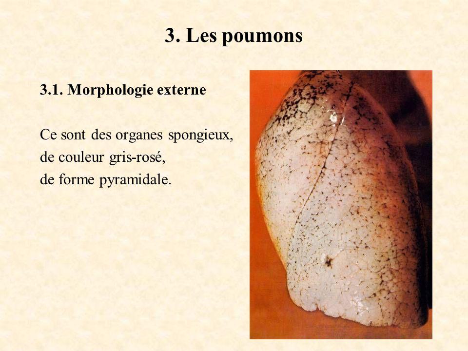 3. Les poumons 3.1. Morphologie externe Ce sont des organes spongieux, de couleur gris-rosé, de forme pyramidale.
