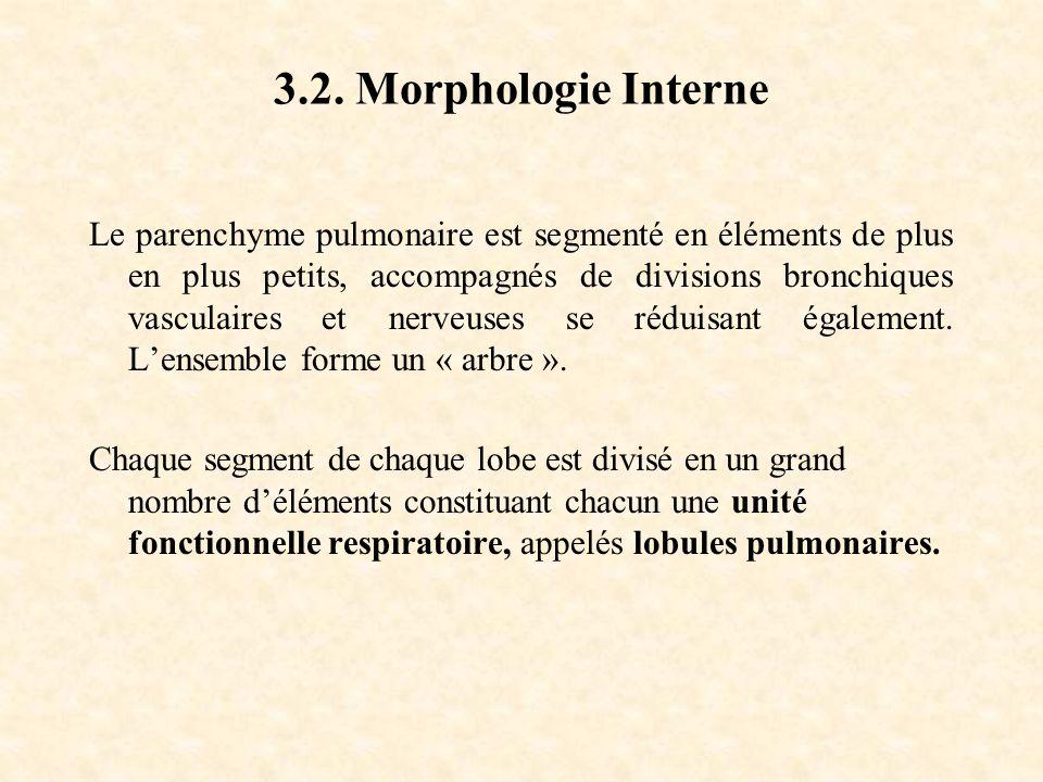 3.2. Morphologie Interne Le parenchyme pulmonaire est segmenté en éléments de plus en plus petits, accompagnés de divisions bronchiques vasculaires et