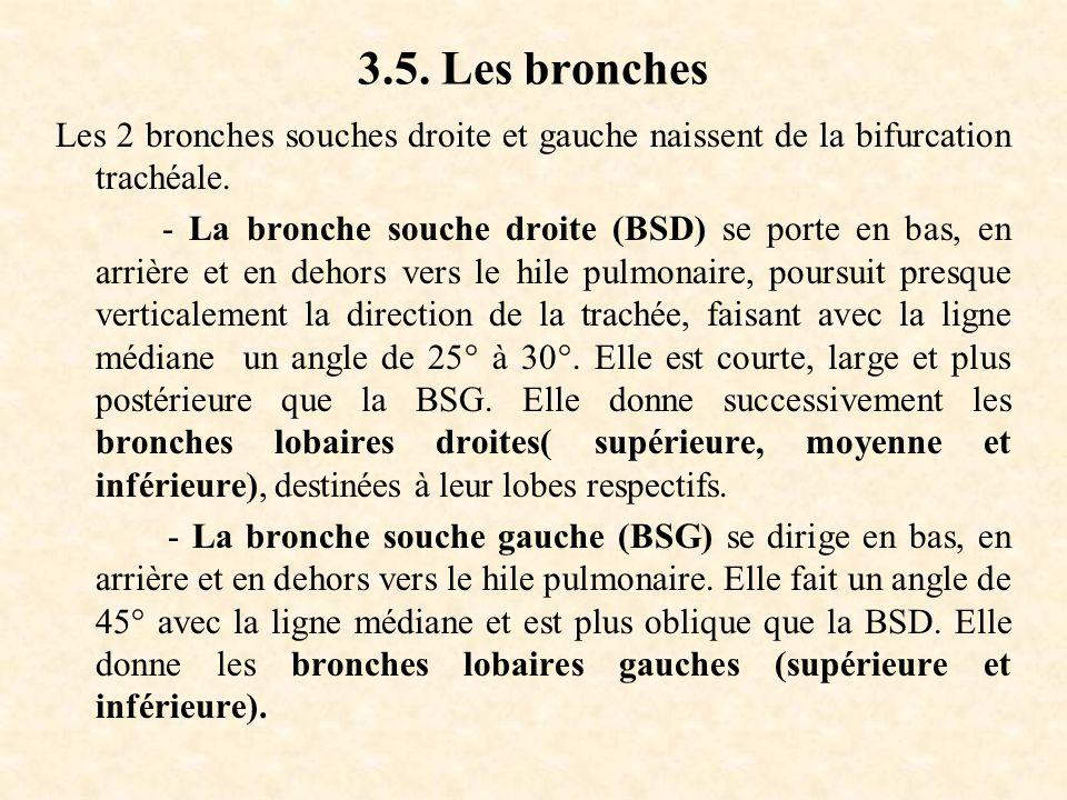 3.5. Les bronches Les 2 bronches souches droite et gauche naissent de la bifurcation trachéale. - La bronche souche droite (BSD) se porte en bas, en a