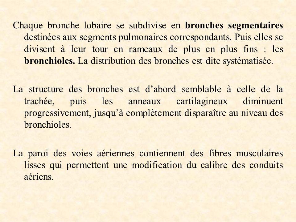 Chaque bronche lobaire se subdivise en bronches segmentaires destinées aux segments pulmonaires correspondants. Puis elles se divisent à leur tour en