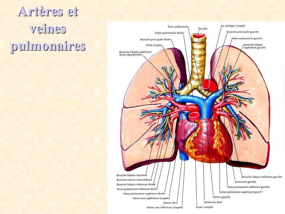 Artères et veines pulmonaires