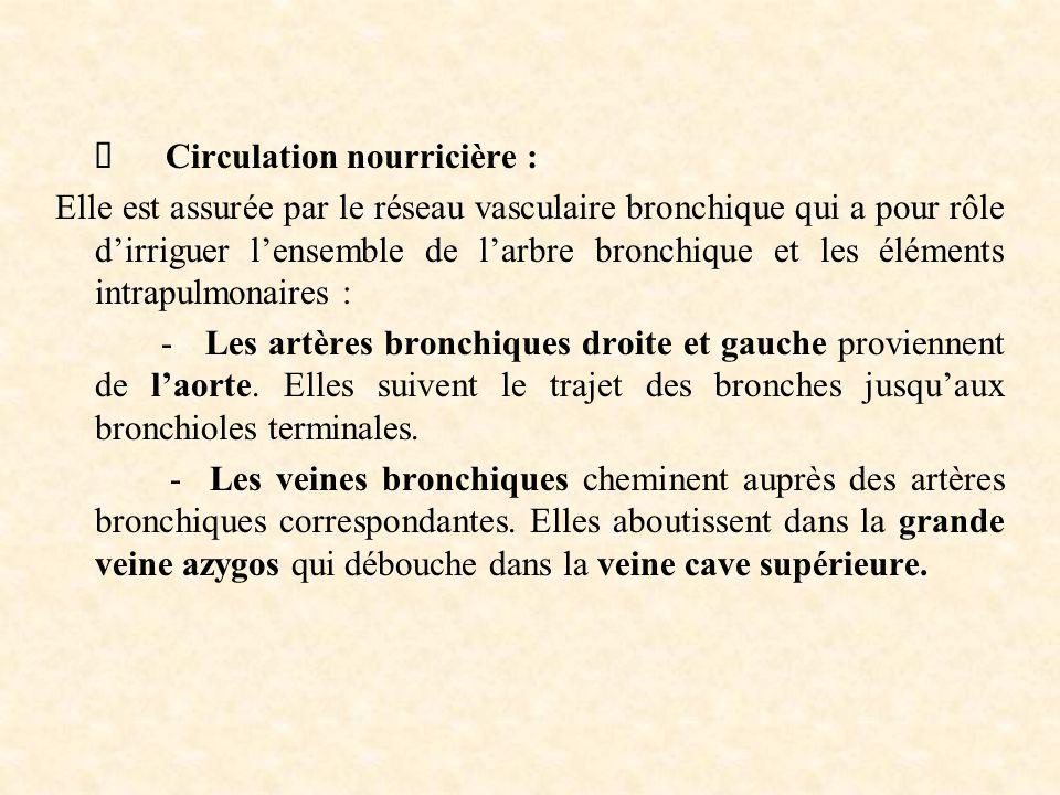  Circulation nourricière : Elle est assurée par le réseau vasculaire bronchique qui a pour rôle d'irriguer l'ensemble de l'arbre bronchique et les él