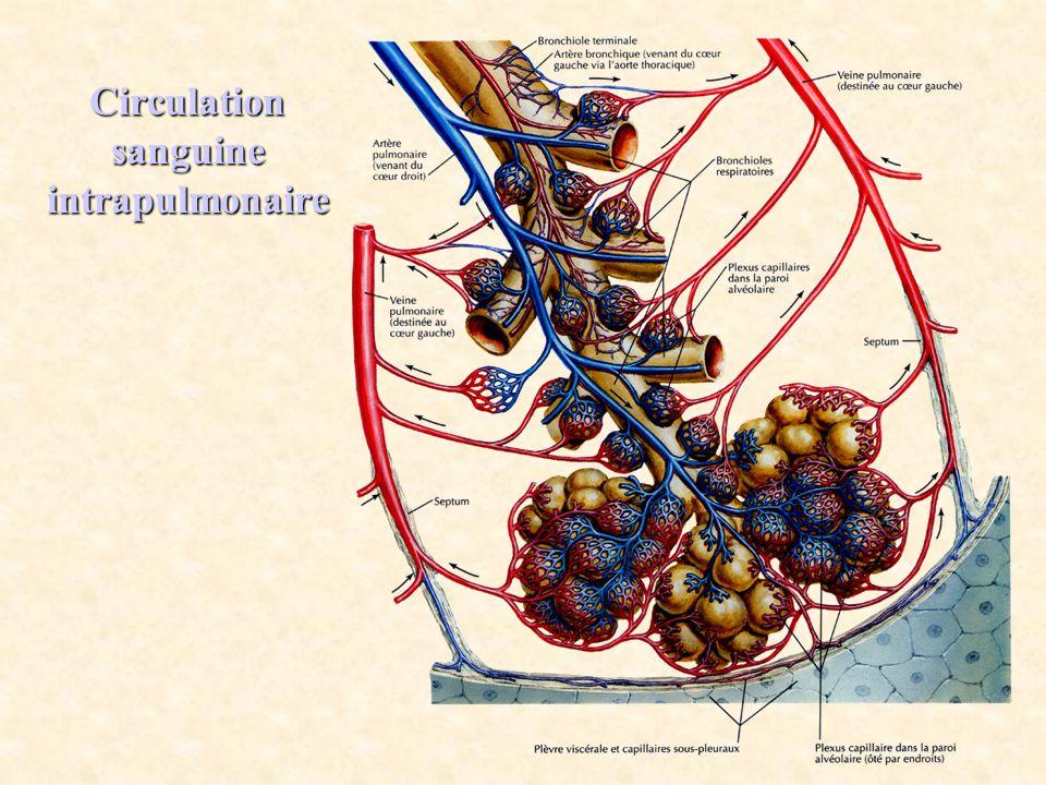 Circulation sanguine intrapulmonaire