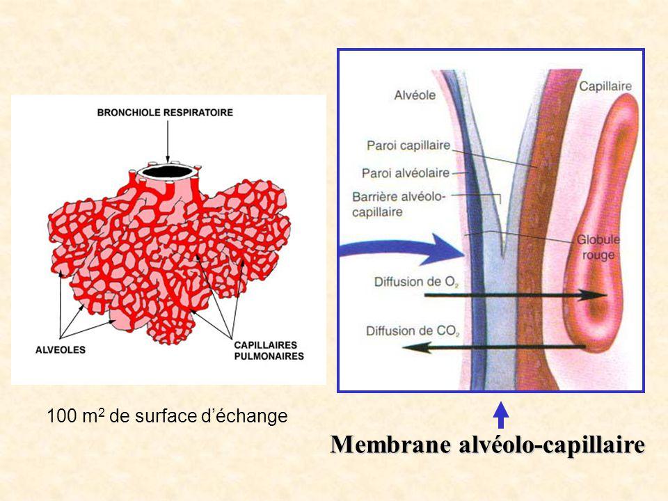 Membrane alvéolo-capillaire 100 m 2 de surface d'échange