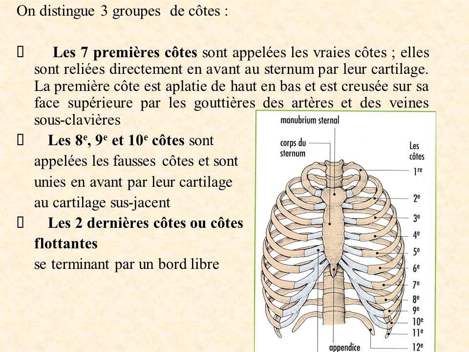 On distingue 3 groupes de côtes :  Les 7 premières côtes sont appelées les vraies côtes ; elles sont reliées directement en avant au sternum par leur