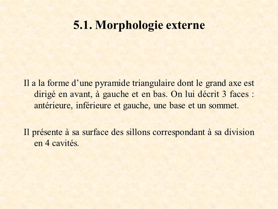 5.1. Morphologie externe Il a la forme d'une pyramide triangulaire dont le grand axe est dirigé en avant, à gauche et en bas. On lui décrit 3 faces :