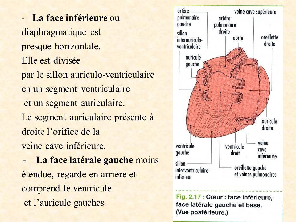 - La face inférieure ou diaphragmatique est presque horizontale. Elle est divisée par le sillon auriculo-ventriculaire en un segment ventriculaire et