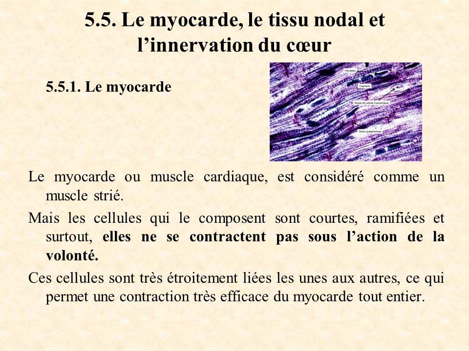 5.5. Le myocarde, le tissu nodal et l'innervation du cœur 5.5.1. Le myocarde Le myocarde ou muscle cardiaque, est considéré comme un muscle strié. Mai