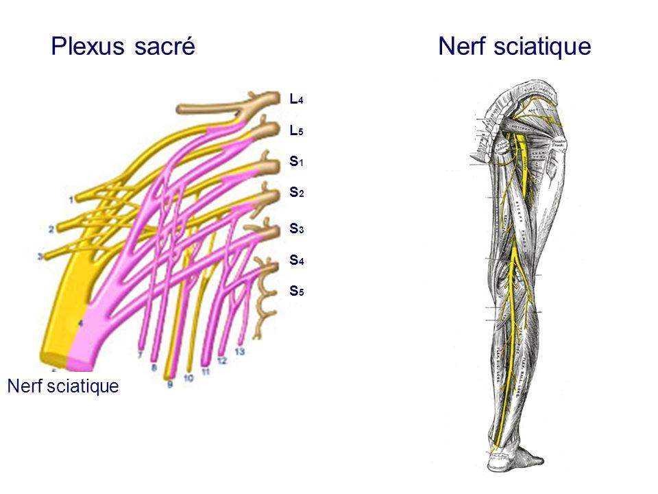 Plexus sacré Nerf sciatique Nerf sciatique L4L4 L5L5 S1S1 S2S2 S3S3 S4S4 S5S5