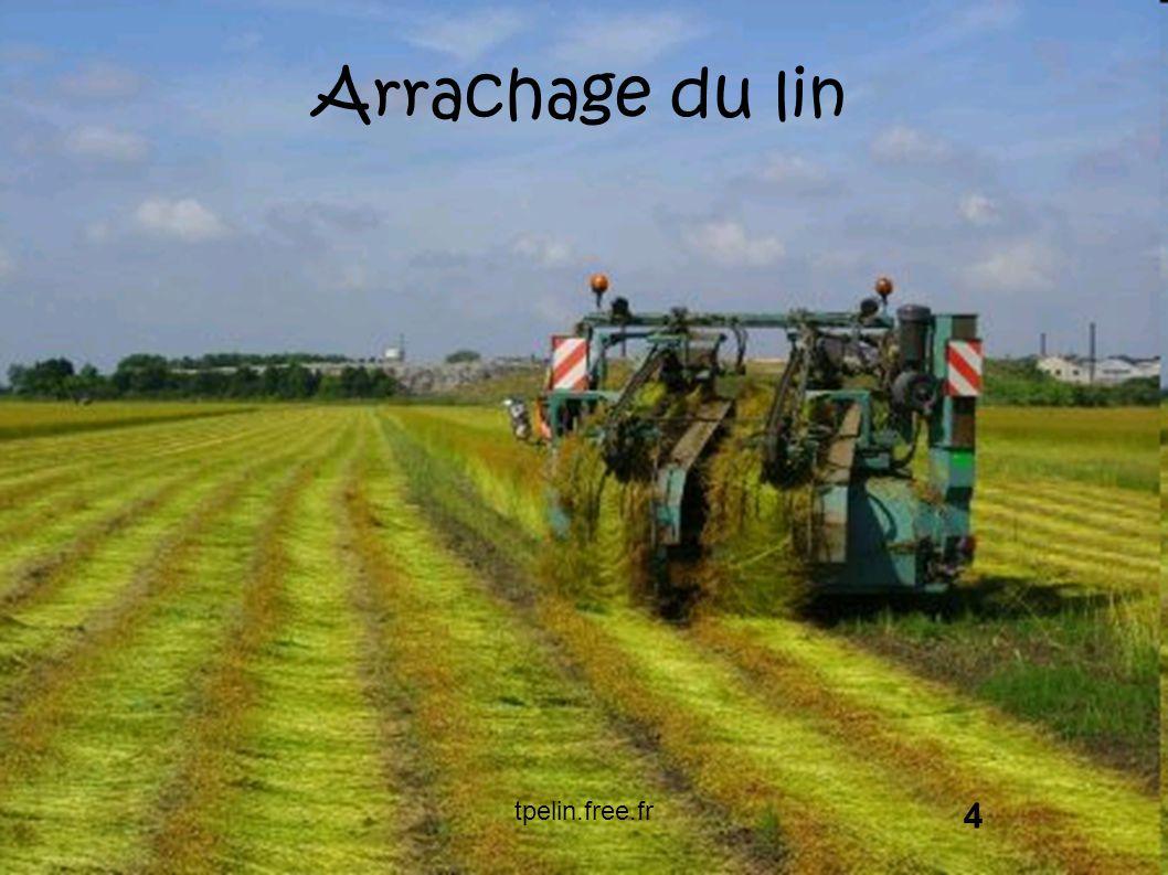 Arrachage du lin 4 tpelin.free.fr