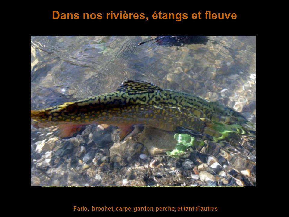 Chez les reptiles ou les batraciens Orvet, couleuvre, lézard ocellé, vipère, grenouille, salamandre, triton…