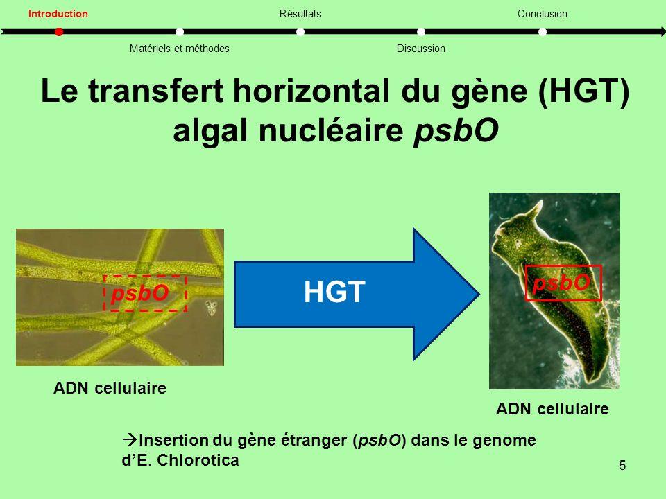 Le transfert horizontal du gène (HGT) algal nucléaire psbO 5 Introduction Matériels et méthodes Résultats Discussion Conclusion psbO ADN cellulaire HGT psbO  Insertion du gène étranger (psbO) dans le genome d'E.