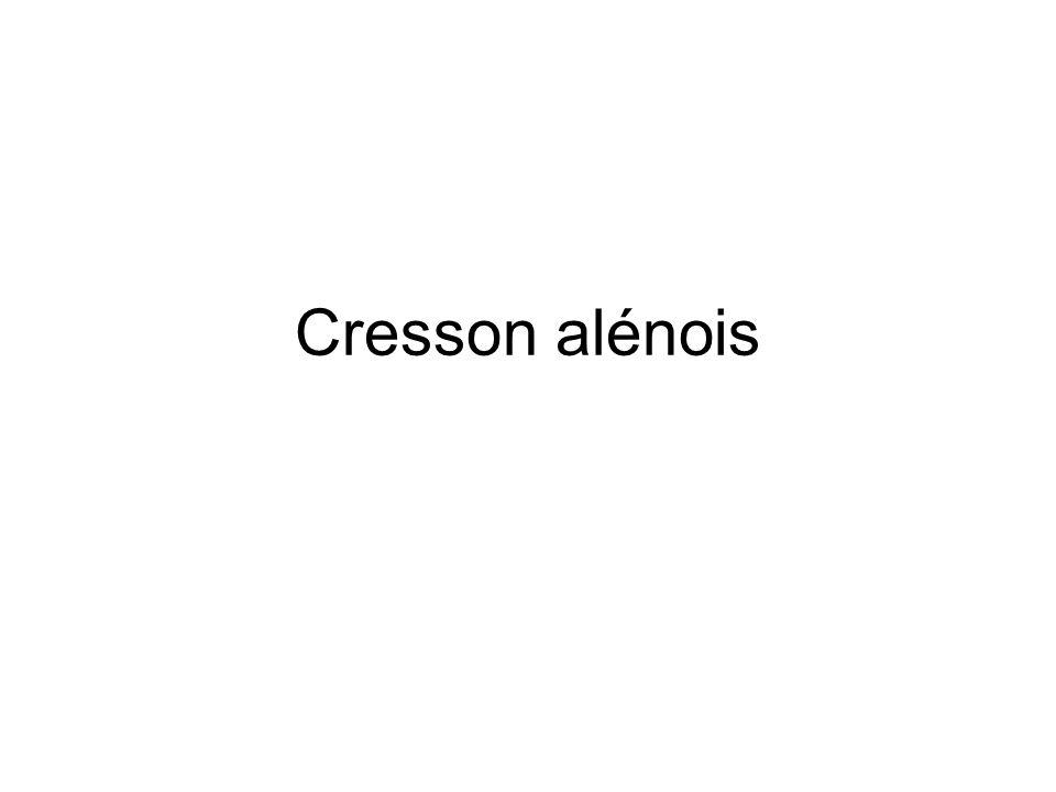 Cresson alénois