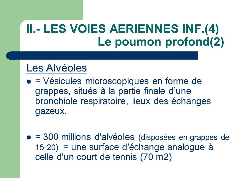 II.- LES VOIES AERIENNES INF.(4) Le poumon profond(2) Les Alvéoles  = Vésicules microscopiques en forme de grappes, situés à la partie finale d'une b
