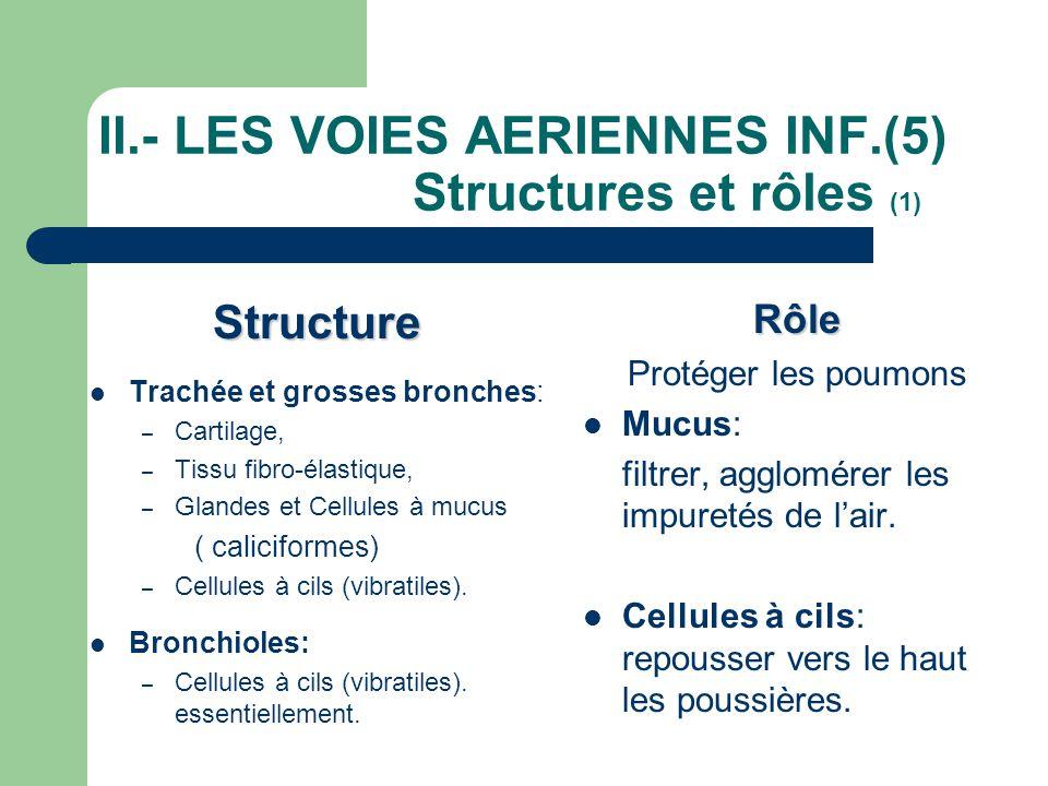II.- LES VOIES AERIENNES INF.(5) Structures et rôles (1) Structure  Trachée et grosses bronches: – Cartilage, – Tissu fibro-élastique, – Glandes et C