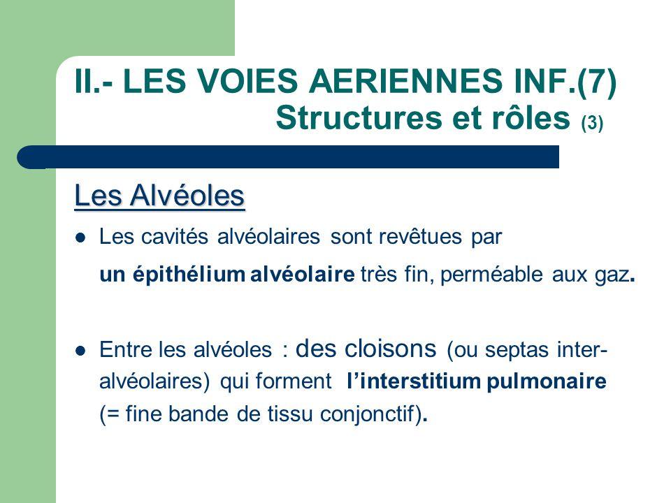 II.- LES VOIES AERIENNES INF.(7) Structures et rôles (3) Les Alvéoles  Les cavités alvéolaires sont revêtues par un épithélium alvéolaire très fin, p