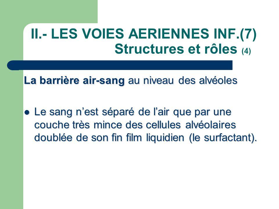 II.- LES VOIES AERIENNES INF.(7) Structures et rôles (4) La barrière air-sang au niveau des alvéoles  Le sang n'est séparé de l'air que par une couch