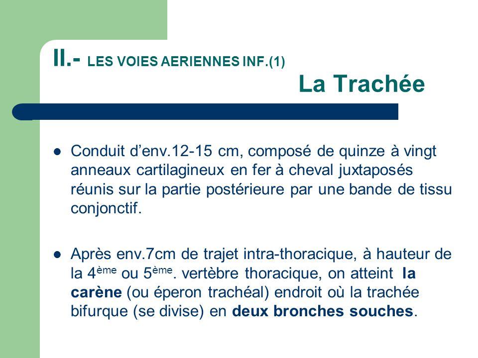 II.- LES VOIES AERIENNES INF.(2) Les 2 Bronches souches  La bronche souche droite plus large et plus courte est presque en continuité avec l axe de la trachée, (c'est pourquoi les corps étrangers inhalés s'y déposent souvent).