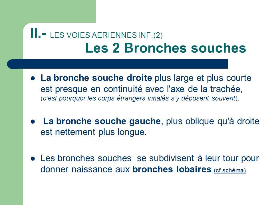 II.- LES VOIES AERIENNES INF.(2) Les 2 Bronches souches  La bronche souche droite plus large et plus courte est presque en continuité avec l'axe de l