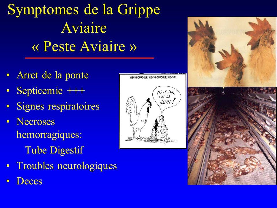 Symptomes de la Grippe Aviaire « Peste Aviaire » •Arret de la ponte •Septicemie +++ •Signes respiratoires •Necroses hemorragiques: Tube Digestif •Troubles neurologiques •Deces