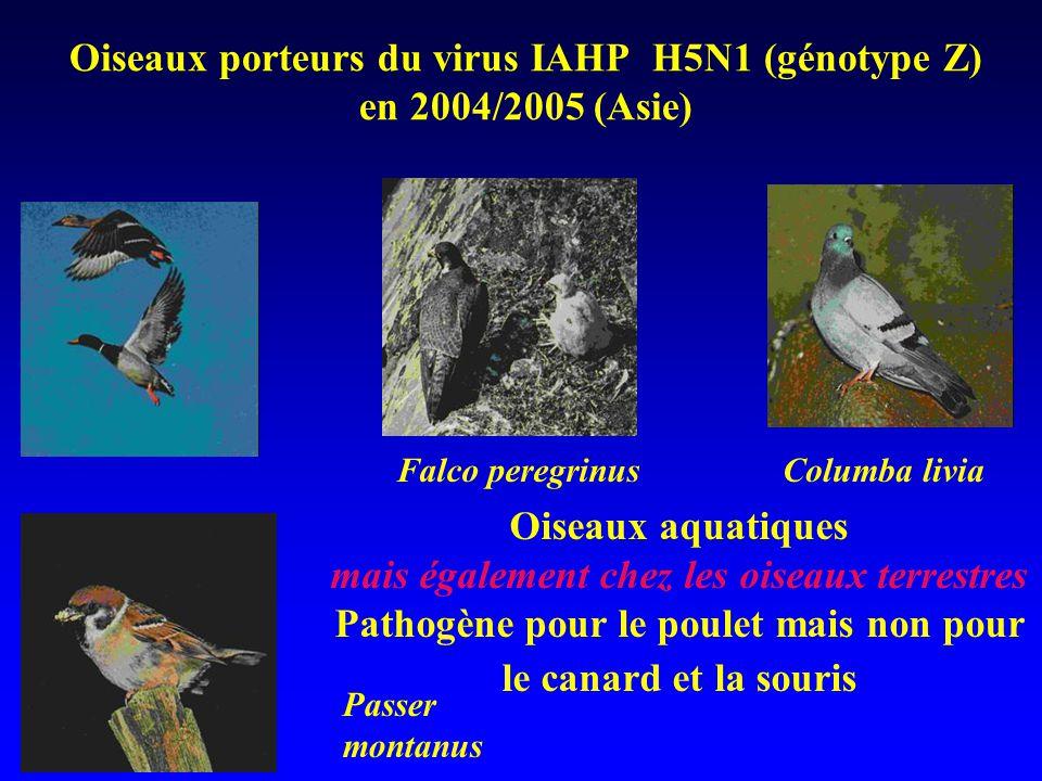 Oiseaux porteurs du virus IAHP H5N1 (génotype Z) en 2004/2005 (Asie) Falco peregrinusColumba livia Passer montanus Oiseaux aquatiques mais également chez les oiseaux terrestres Pathogène pour le poulet mais non pour le canard et la souris