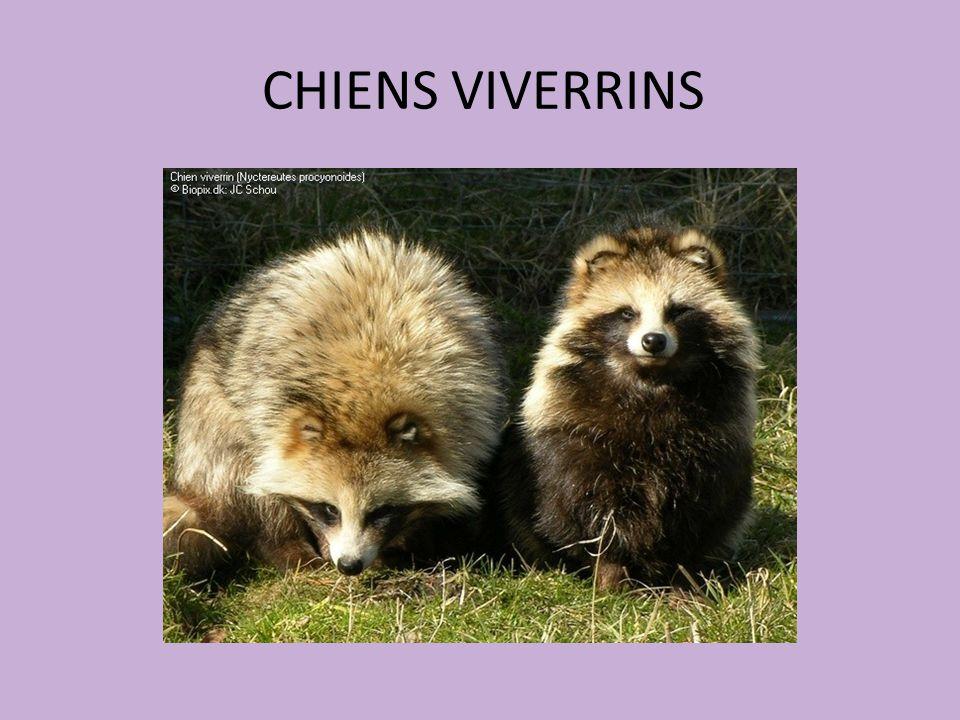 CHIENS VIVERRINS