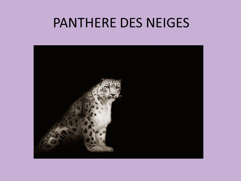 PANTHERE DES NEIGES