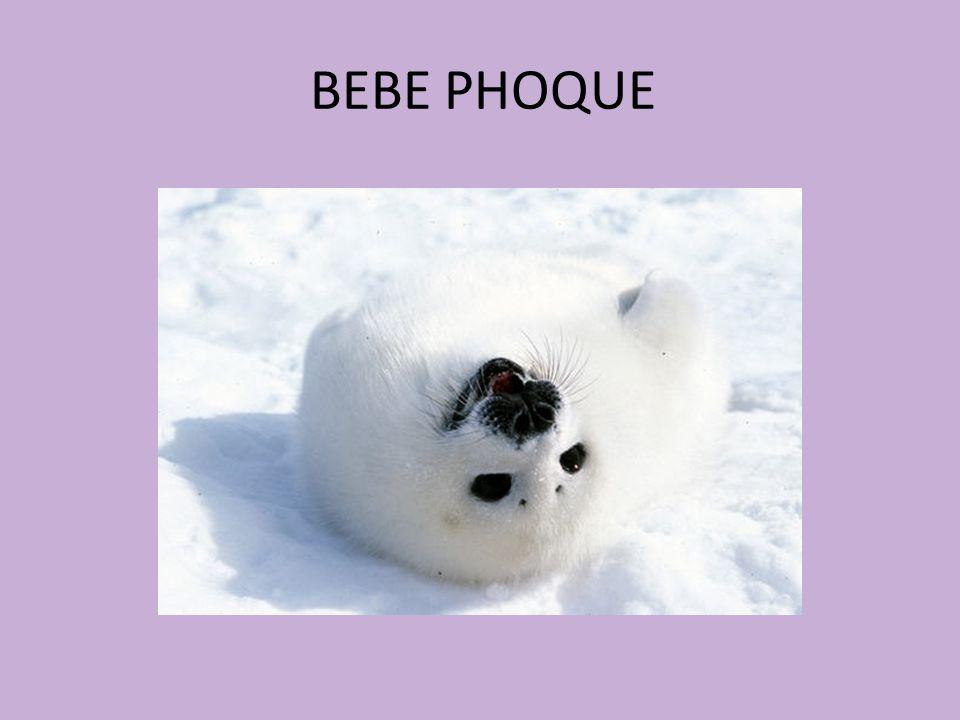 BEBE PHOQUE