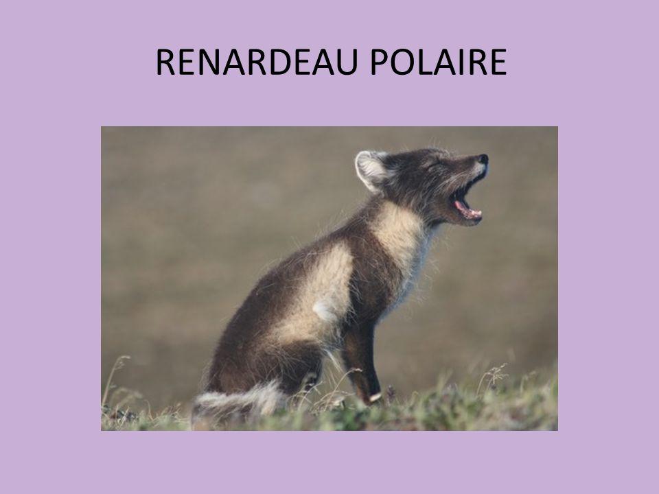 RENARDEAU POLAIRE