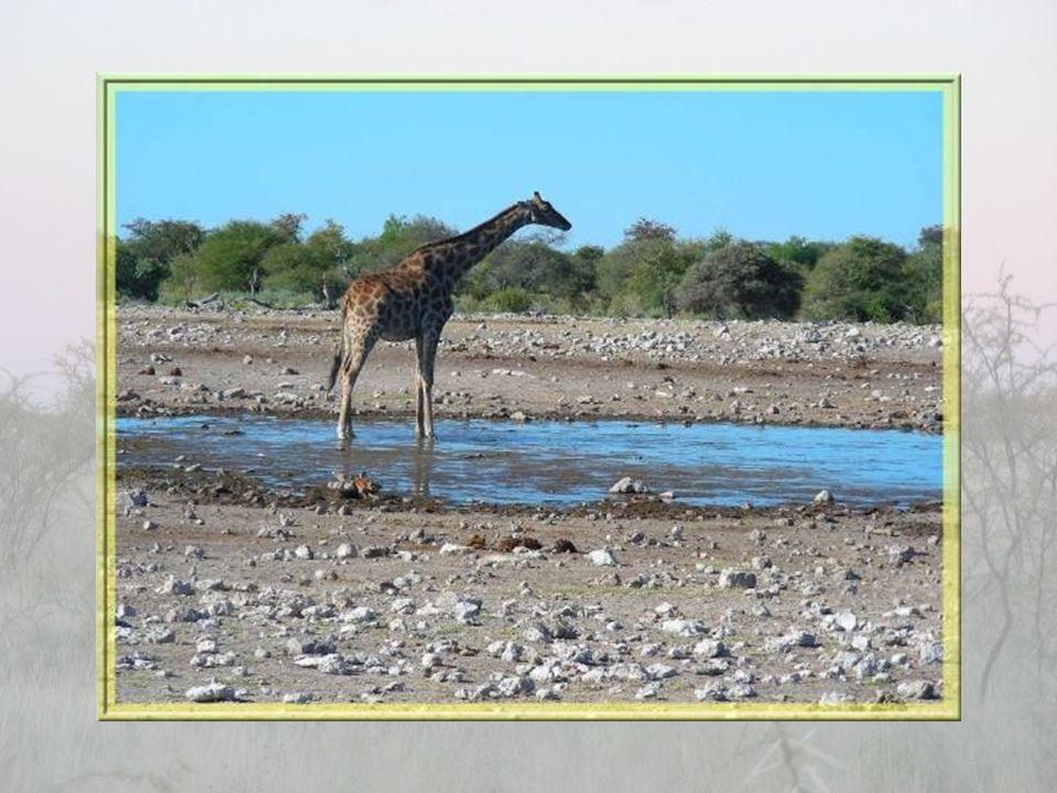 Strié de raies blanches, le koudou est une autre sorte d'antilope. Le mâle possède des cornes qui s'enroulent en spirales.