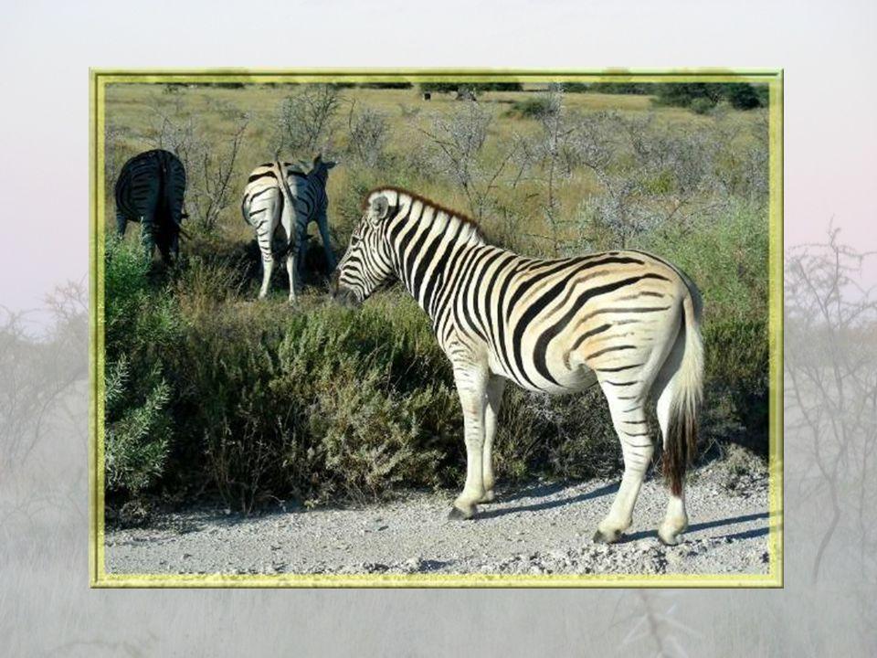 Les troupeaux de zèbres sont nombreux dans le parc. Ils ont fière allure avec leur pelage rayé, de façon parfaitement symétrique, sur fond crème, une