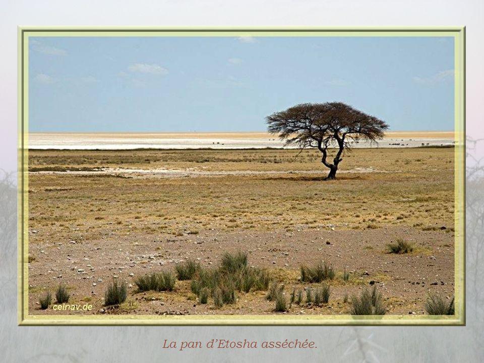 Ce n'est que d'assez loin, en suivant la piste, que nous pourrons voir la pan (cuvette salée) d'Etosha, de 120 km de long sur 70 de large. Sa création