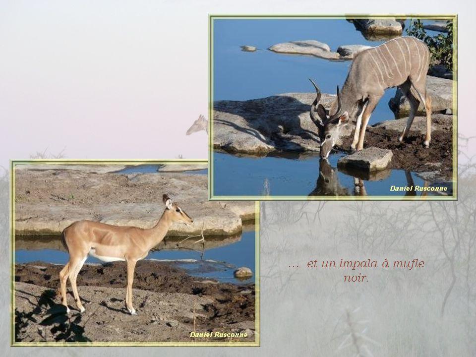 Des koudous se désaltérant…