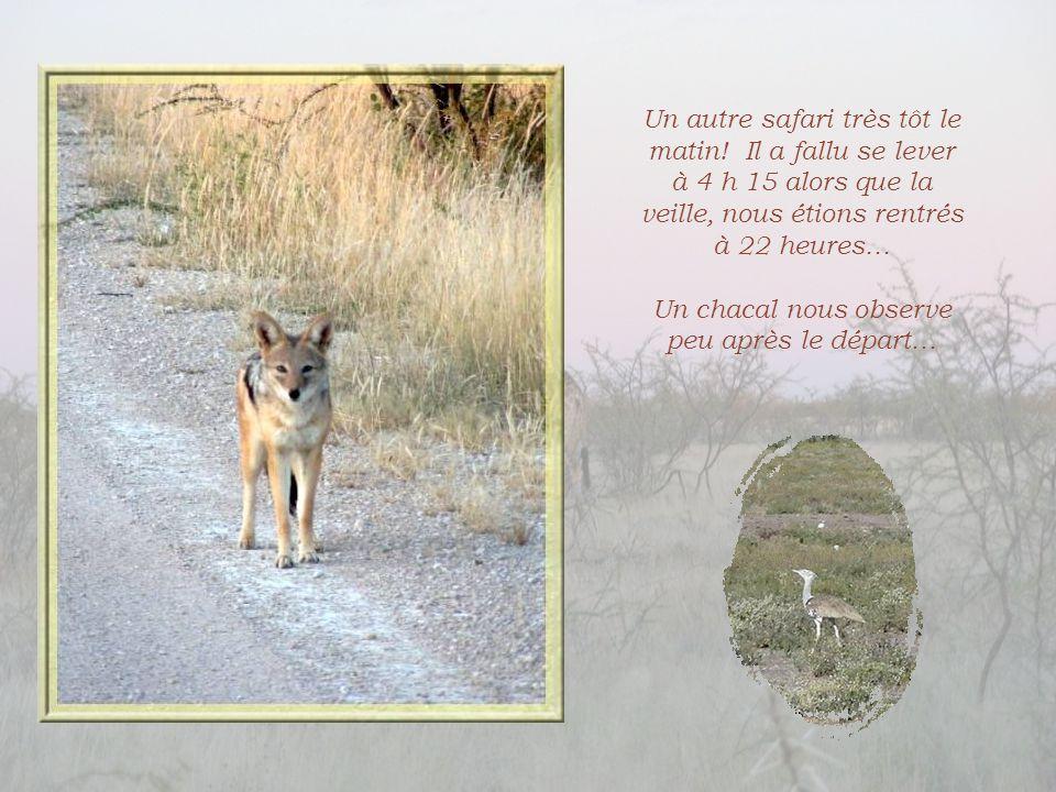 Durant le safari, beaucoup de chouettes, une lionne lointaine, des springboks et un chat sauvage ci- dessus.