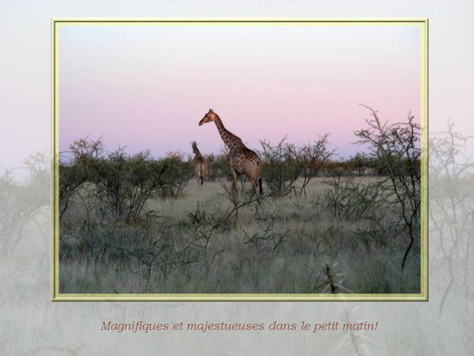 Un autre safari très tôt le matin! Il a fallu se lever à 4 h 15 alors que la veille, nous étions rentrés à 22 heures… Un chacal nous observe peu après