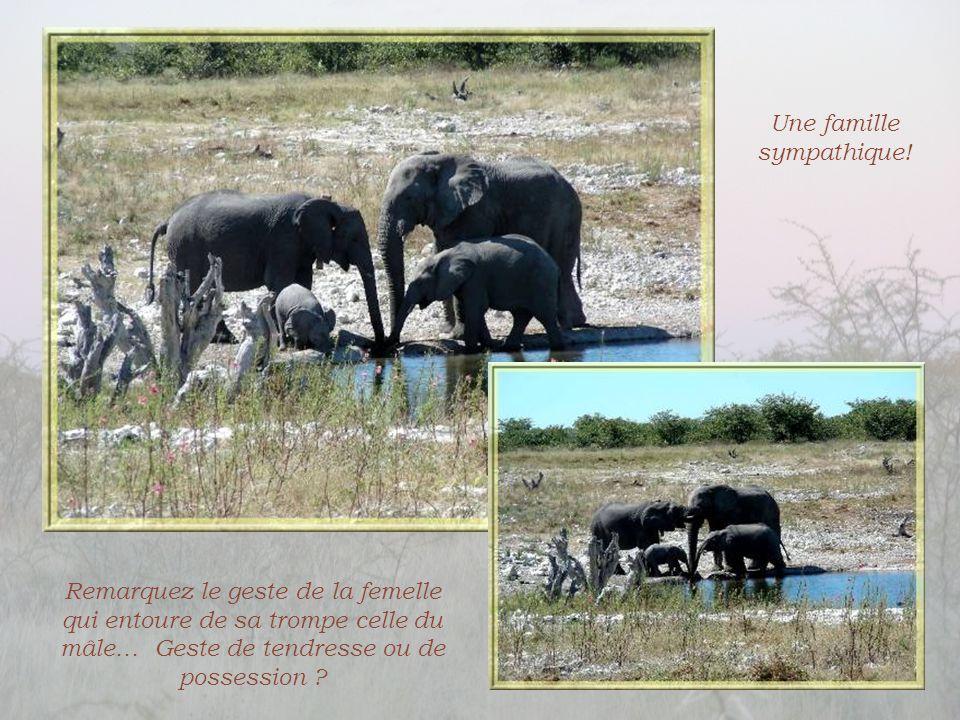 Alors que nous examinions, de très loin, deux éléphants en arrière- plan, quelle joie de voir apparaître ce troupeau qui se dirigeait vers le point d'