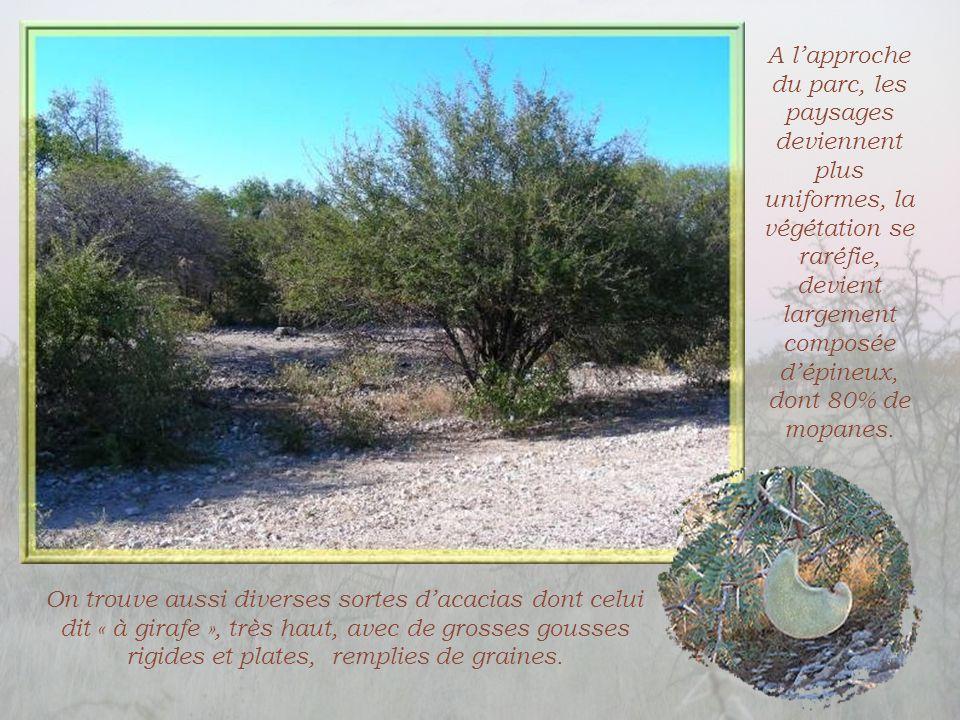 On trouve aussi diverses sortes d'acacias dont celui dit « à girafe », très haut, avec de grosses gousses rigides et plates, remplies de graines.
