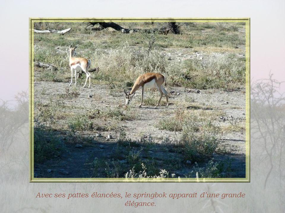 L'animal le plus souvent rencontré est une sorte de gazelle, le springbok. Ce nom qui, en Néerlandais, veut dire antilope sauteuse et en Afrikaans, an