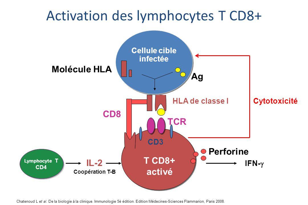 HLA de classe I TCR Cellule cible infectée T CD8+ activé IFN-  CD8 CD3 Lymphocyte T CD4 Perforine IL-2 Cytotoxicité Ag Molécule HLA Coopération T-B Activation des lymphocytes T CD8+ Chatenoud L et al.