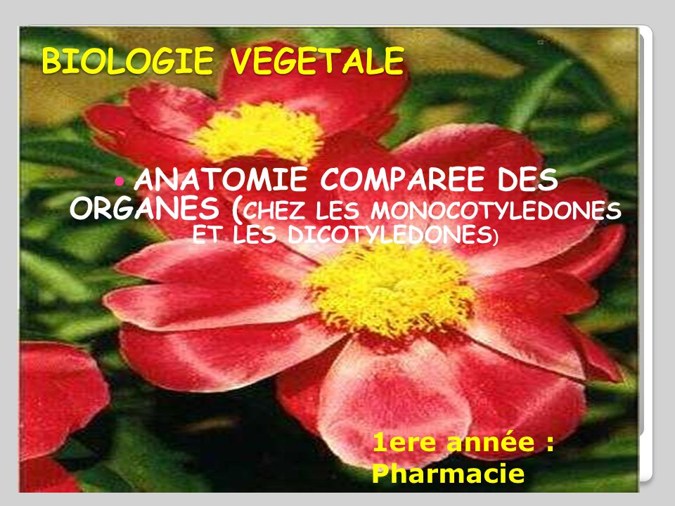 BIOLOGIE VEGETALE  ANATOMIE COMPAREE DES ORGANES ( CHEZ LES MONOCOTYLEDONES ET LES DICOTYLEDONES ) 1ere année : Pharmacie
