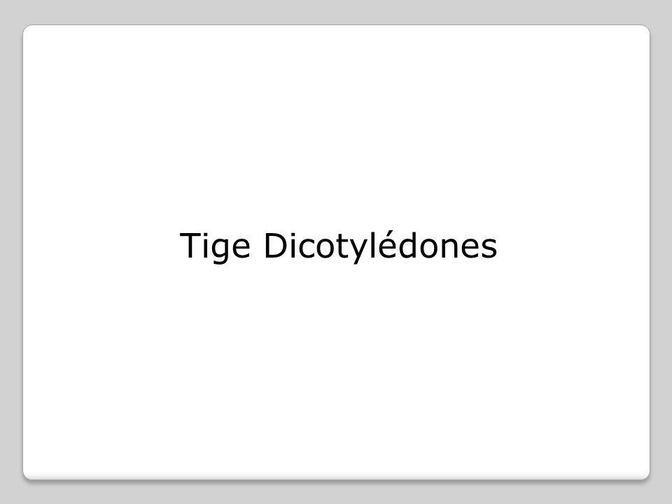 Coupe d une tige primaire (première année de croissance) de dicotylédone Tige primaire = tige qui se forme à partir du méristème responsable de l'allongement de la tige.