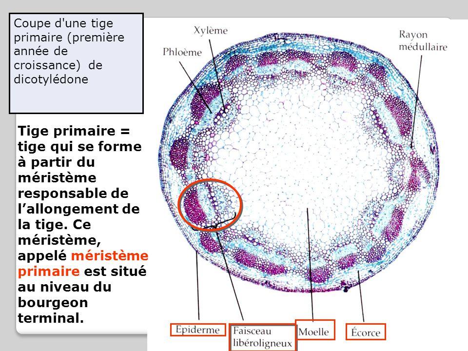 Coupe d'une tige primaire (première année de croissance) de dicotylédone Tige primaire = tige qui se forme à partir du méristème responsable de l'allo