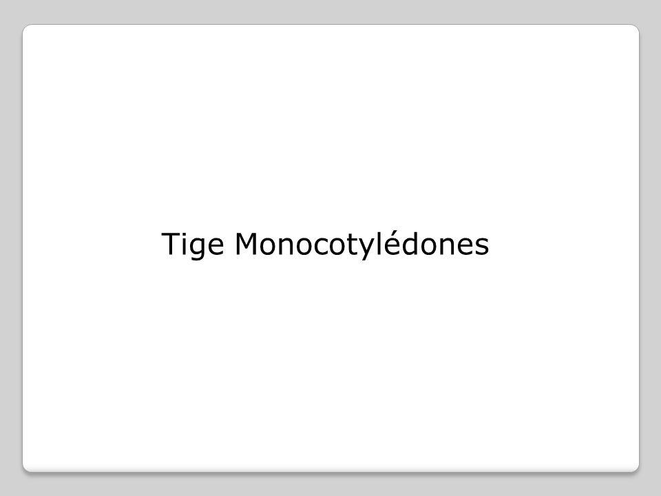 Dans le cas des racines très âgées, il n est en général plus possible de reconnaître les caractéristiques histologiques de la racine et de la distinguer de la structure d une tige.